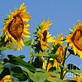 Sunflowers Looking East Poster by Edward Sobuta