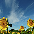 Sunflowers Poster by Robin Wilson Photography