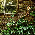sunlit window and grapevines Print by HD Connelly