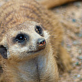 Sweet Meerkat Face Poster by Carolyn Marshall