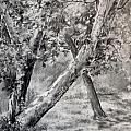 Sycamore Tree in Goliad State Park Print by Karen Boudreaux