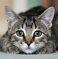 Tabby Kitten Poster by Jody Trappe Photography