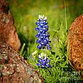 Texas Bluebonnet Print by Jon Holiday