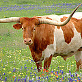 Texas Longhorn Standing in Bluebonnets Print by Jon Holiday