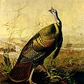The American Wild Turkey Cock Print by John James Audubon