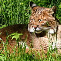 The Bobcat's Afternoon Nap Print by Laurel Talabere