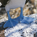 The Feet Of A Blue Footed Booby Bird Poster by Gina Martin