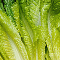 The Heart Of Romaine Poster by Andee Design