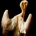 The pelican Poster by Angela Doelling AD DESIGN Photo and PhotoArt