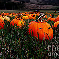 The Pumpkin Patch . When Nobody Is Looking Print by Wingsdomain Art and Photography