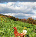 This Is As Free Range As A Chicken Can Get Poster by Photo by Keesha Davis