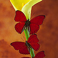 Three red butterflies on calla lily Poster by Garry Gay