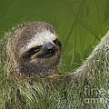Three-Toed Sloth Poster by Heiko Koehrer-Wagner