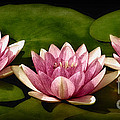 Three Water Lilies Print by Susan Candelario