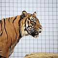 Tiger In Captivity Print by Linda Wright