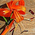 Tiger Lily with Watercolor  Print by Chris Berry