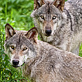 Timber Wolf Pair Print by Michael Cummings