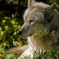 Timber Wolf Portrait Print by Michael Cummings