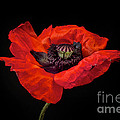 Tiny Dancer Poppy Print by Toni Chanelle Paisley