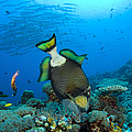 Titan Triggerfish Picking At Coral by Steve Jones