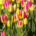 Too Many Tulips Poster by Jeff Kolker
