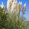 Topsail Grasses Poster by Betsy A  Cutler