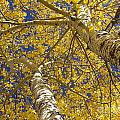 Towering Autumn Aspens with Deep Blue Sky Print by James Bo Insogna