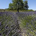 Tree in a field of lavender. Provence Poster by Bernard Jaubert
