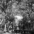 TREES on the MALL in CENTRAL PARK in BLACK AND WHITE Poster by ROB HANS