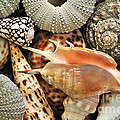 Tropical Shells Poster by Kaye Menner