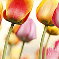 Tulip - Impressions 1 Poster by Martin Williams