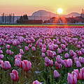 Tulip Field At Sunset Poster by davidnguyenphotos