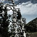 Twisted Whitebark Pine Tree - Crater Lake - Oregon Poster by Christine Till