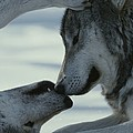 Two Gray Wolves, Canis Lupus, Touch Print by Jim And Jamie Dutcher