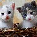 Two kittens in basket Poster by Garry Gay