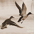 Two Winter Ducks in Flight Print by Carol Groenen