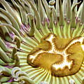 Under Water Anemone Poster by Lucidio Studio, Inc.