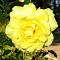 Upbeat Yellow Rose Print by Will Borden