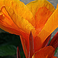 Vibrant Canna Poster by Susan Herber
