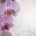 Vintage orchids Poster by Jane Rix