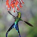 Violet-tailed Sylph Aglaiocercus Poster by Michael & Patricia Fogden