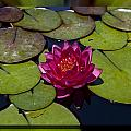 Water Lilly 4 Print by Charles Warren