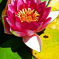 Water Lily FC 2 Print by Diana Douglass