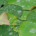 Waterdrops on lotus leaves Poster by Silke Magino