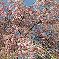Weeping Cherry Tree In Bloom Print by Todd Gipstein