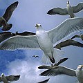 Western Gull Larus Occidentalis Flock Poster by Michael Durham/ Minden Pictures