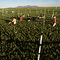 Wheat And Elevated Carbon Dioxide Print by Science Source
