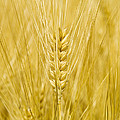 Wheat Print by Paul Rapson