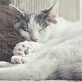 White And Grey Cat Taking Nap On Couch Print by Cindy Prins