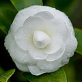 White Camellia Poster by Rich Franco